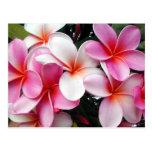 Postal rosada del Hawaiian del Plumeria