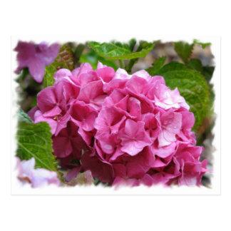 Postal rosada del Hydrangea