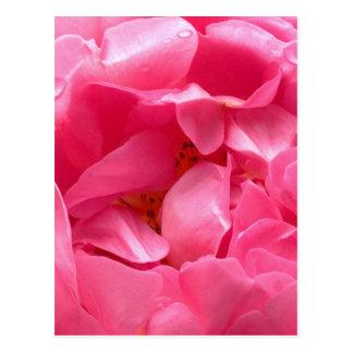 Postal rosada del Peony