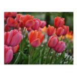 Postal rosada del tulipán