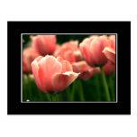 ¡Postal rosada del tulipán! (con la frontera)