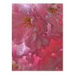 Postal rosada hermosa del flor de los cerezos