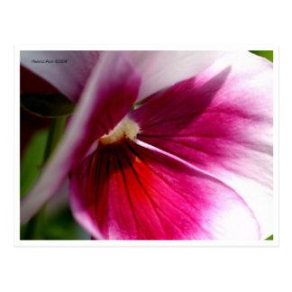 Postal rosada macra de los pétalos de la flor