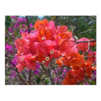 Postal rosada tropical del Bougainvillea