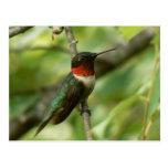 Postal Rubí-throated masculina del colibrí