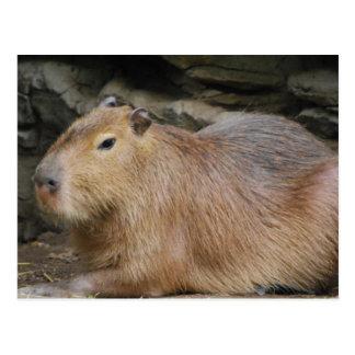 Postal salvaje del Capybara