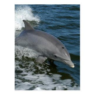 Postal salvaje del delfín