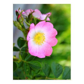 Postal salvaje rosada del flor del rosa de té