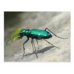 postal Seis-manchada del escarabajo de tigre - mod