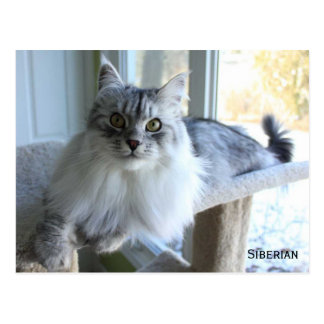 Postal siberiana de la raza del gato