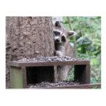 Postal tímida del mapache
