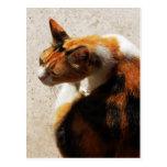 Postal tricolora del gato
