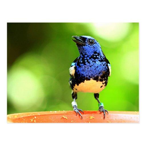 Postal tropical del pájaro del Tanager