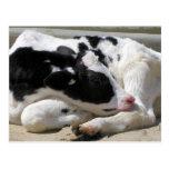 Postal, vaca, fotografía del becerro