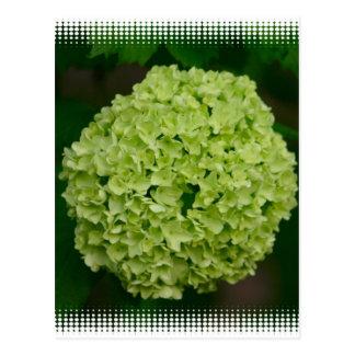 Postal verde del Hydrangea