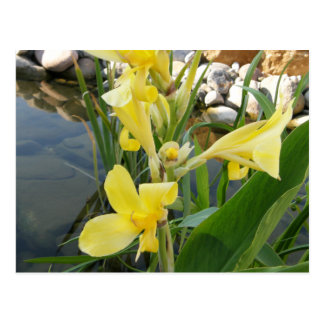 Postales amarillas de la flor del lirio de Canna