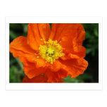 Postales anaranjadas de la flor de la amapola