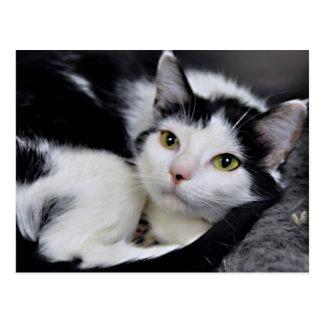 Postales blancos y negros del gato de Shorthair de