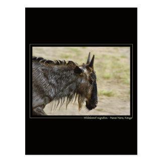 Postales de la fauna de Kenia de la migración del