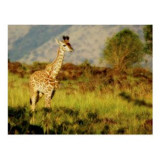 Postales de la fauna de la jirafa del bebé