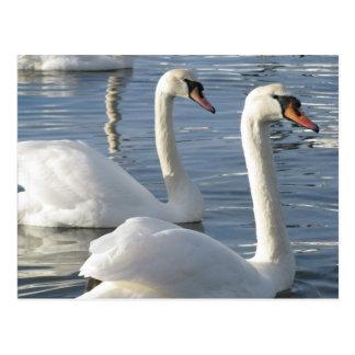 Postales de las reflexiones del cisne