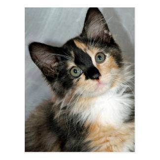 Postales de pelo largo americanas del gatito del