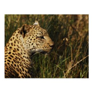 Postales del animal salvaje del leopardo (alarma y
