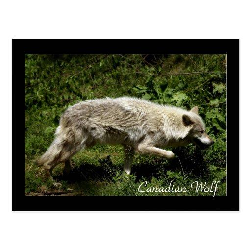 Postales del animal salvaje del lobo gris del lobo