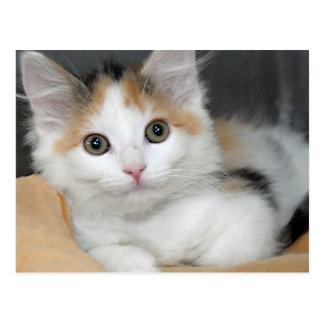 Postales del gatito del calicó de Mediumhair del a