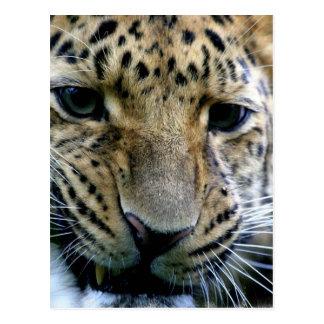 Postales del leopardo de Amur
