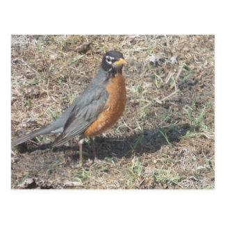Postales del pájaro del petirrojo del Rad