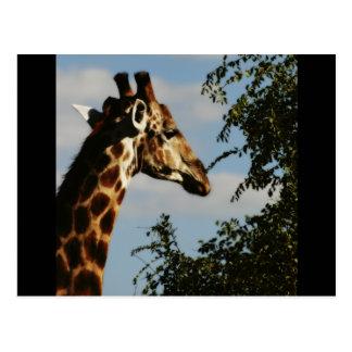 Postales del safari de la fauna de la jirafa