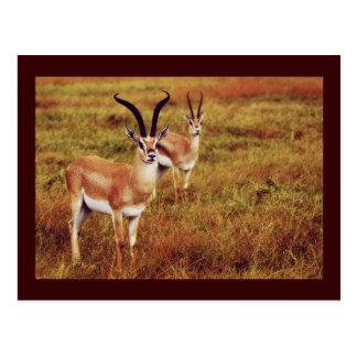 Postales del safari del Gazelle de Thompsons