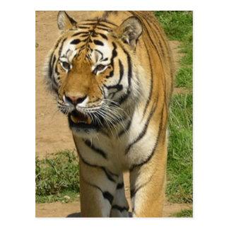 Postales del vagabundeo del tigre