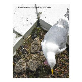 postales Glauco-coas alas de la familia de la gavi
