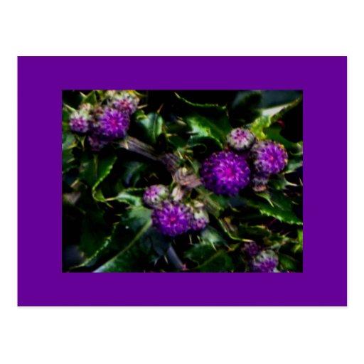 Postales púrpuras de los Wildflowers del cardo de