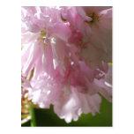 Postales rosadas de las flores de cerezo