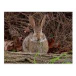 Postales salvajes del conejo