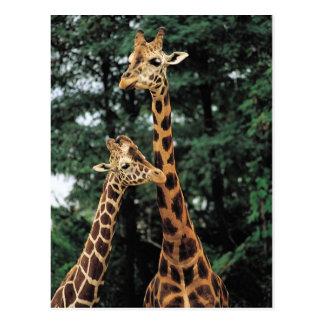 Postards de la jirafa postal