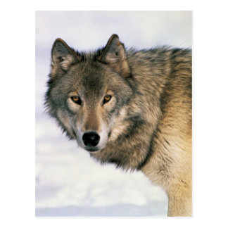 Postards del lobo postales