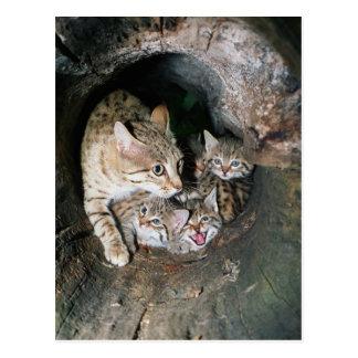 Postcard - Asian wildcat