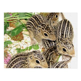 Postcard - baby 13-line ground squirrels, Illinois
