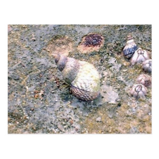 Postcard - Baby Sea Snail and Barnacles