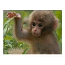 Postcard - Baby Snow Monkey