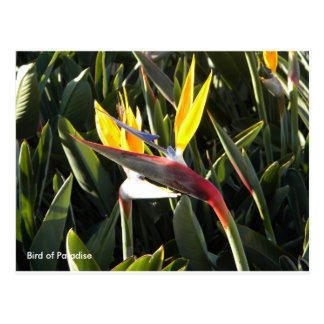 Postcard, Bird of Paradise Postcard