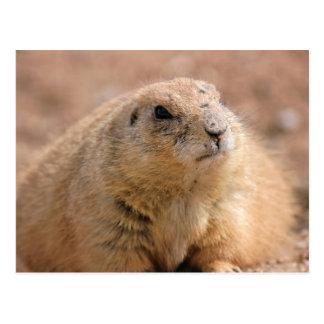 Postcard: Black-tailed Prairie Dog Postcard