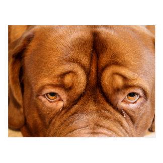 postcard bordeaux dog