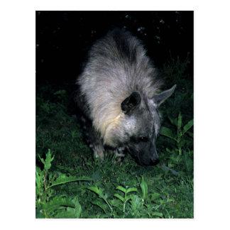 postcard brown hyena