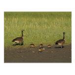 Postcard / Canada Goose Family