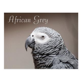Postcard Congo African Grey Gray Parrot